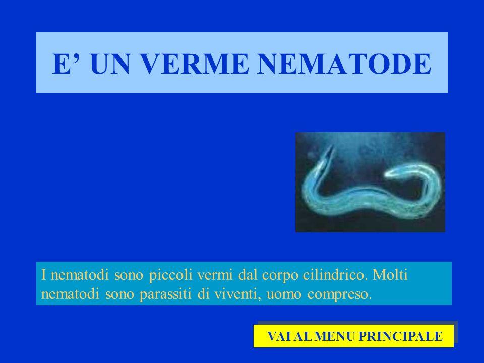 E' UN VERME NEMATODE I nematodi sono piccoli vermi dal corpo cilindrico. Molti nematodi sono parassiti di viventi, uomo compreso.