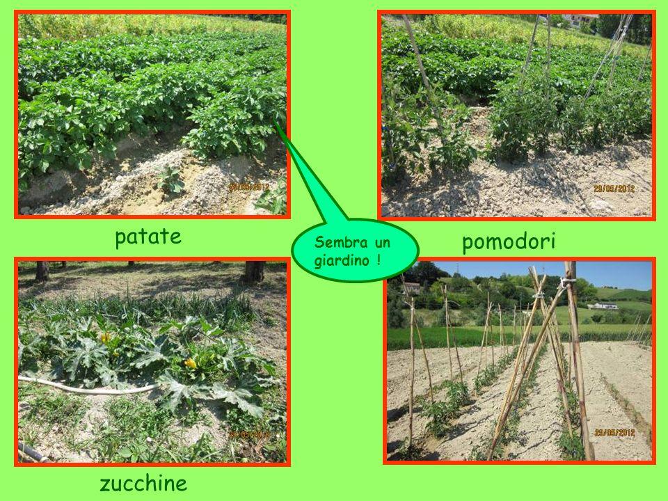 patate pomodori Sembra un giardino ! zucchine