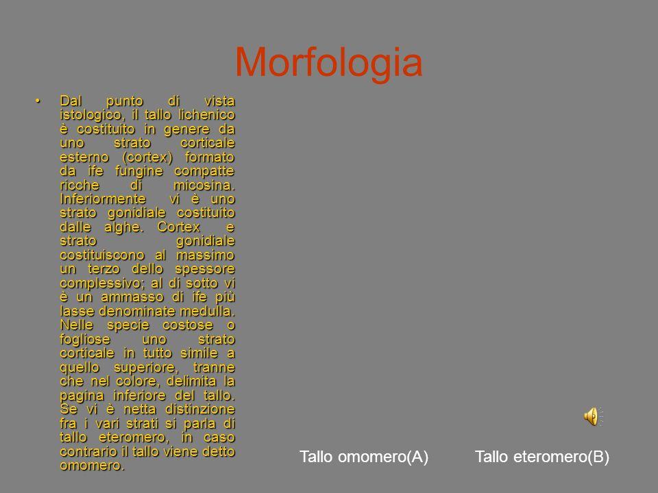 Morfologia Tallo omomero(A) Tallo eteromero(B)