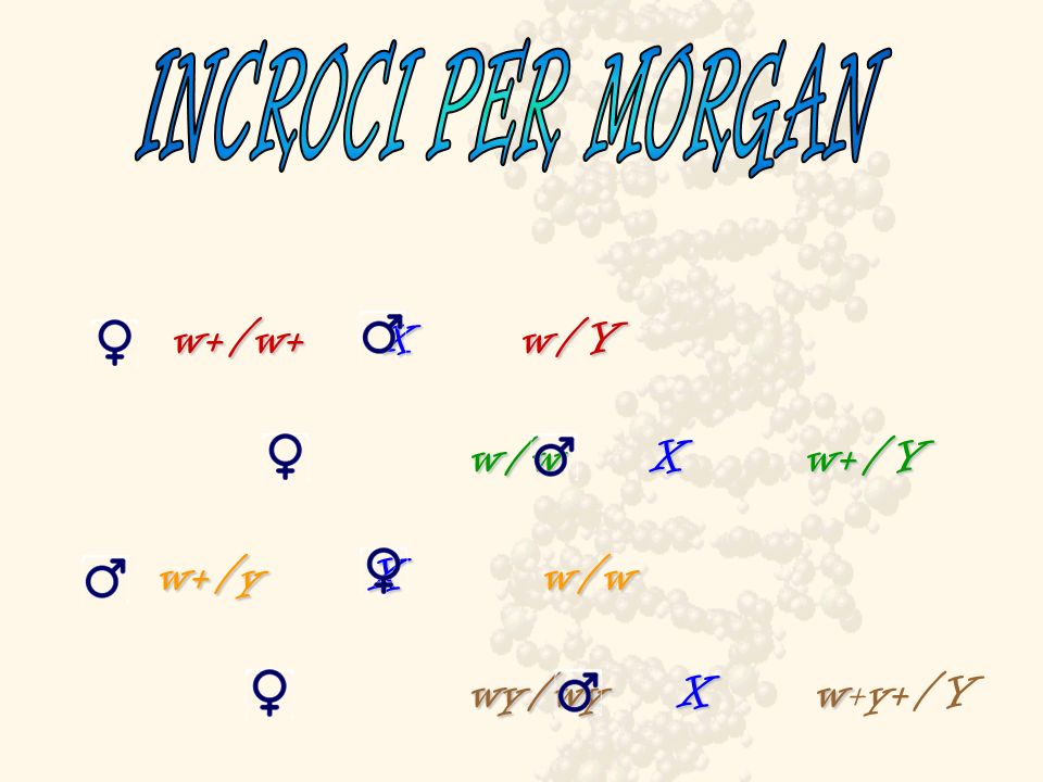 INCROCI PER MORGAN w+/w+ X w/Y. w/w X w+/Y.