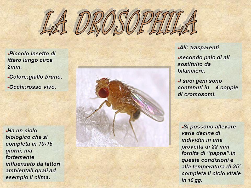 LA DROSOPHILA -Ali: trasparenti