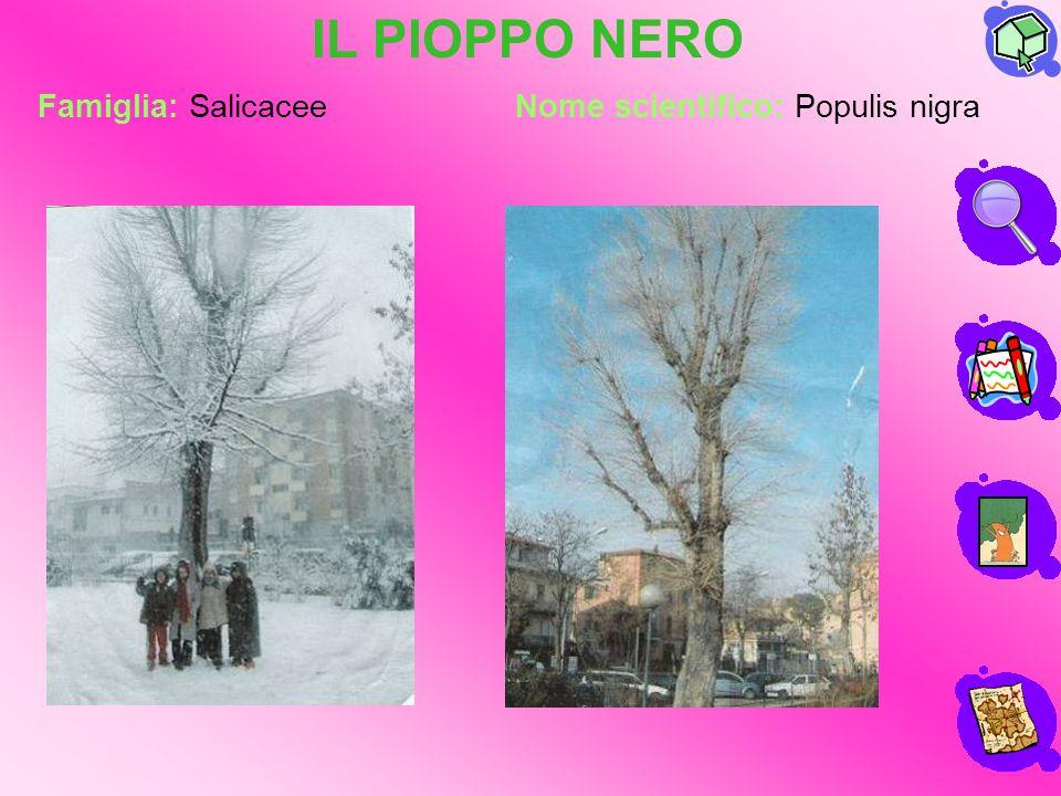 IL PIOPPO NERO Famiglia: Salicacee Nome scientifico: Populis nigra