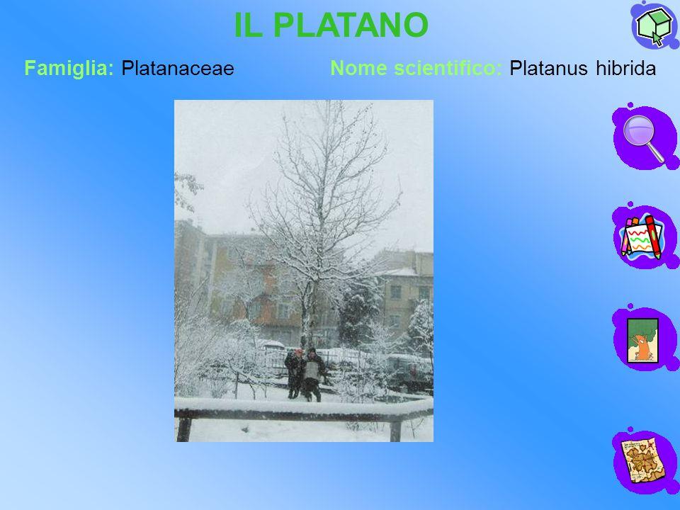 IL PLATANO Famiglia: Platanaceae Nome scientifico: Platanus hibrida