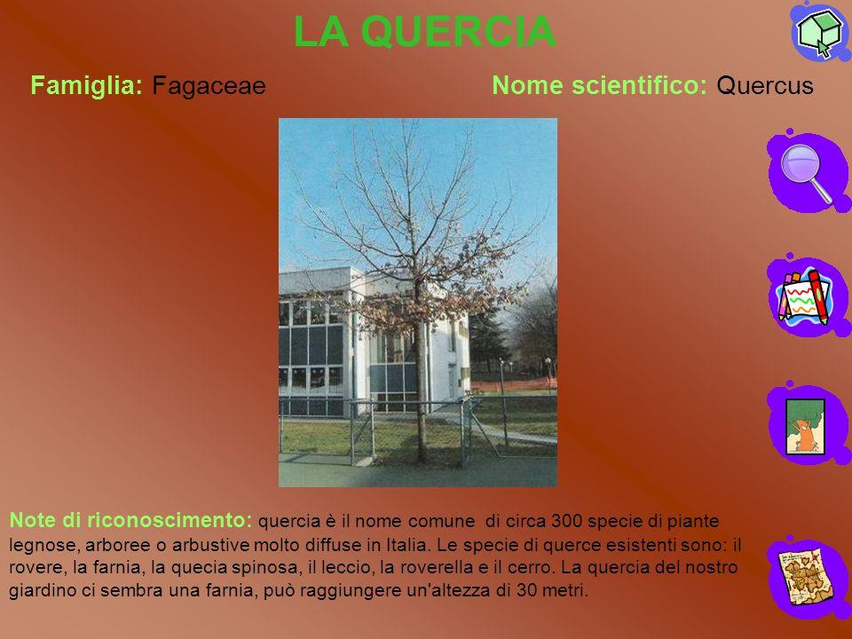 LA QUERCIA Famiglia: Fagaceae Nome scientifico: Quercus