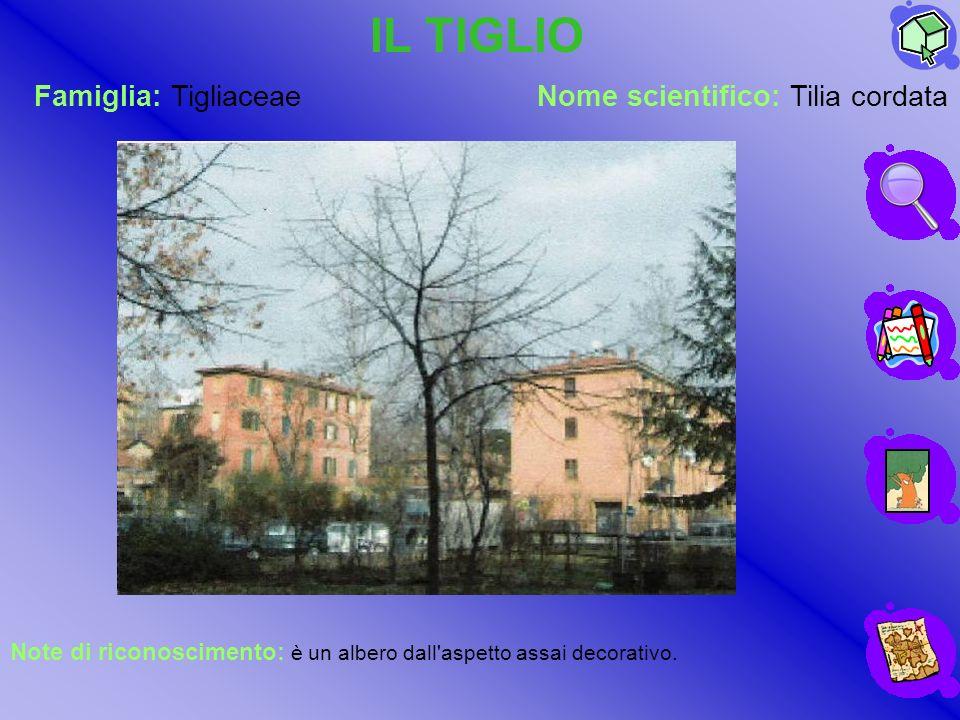 IL TIGLIO Famiglia: Tigliaceae Nome scientifico: Tilia cordata