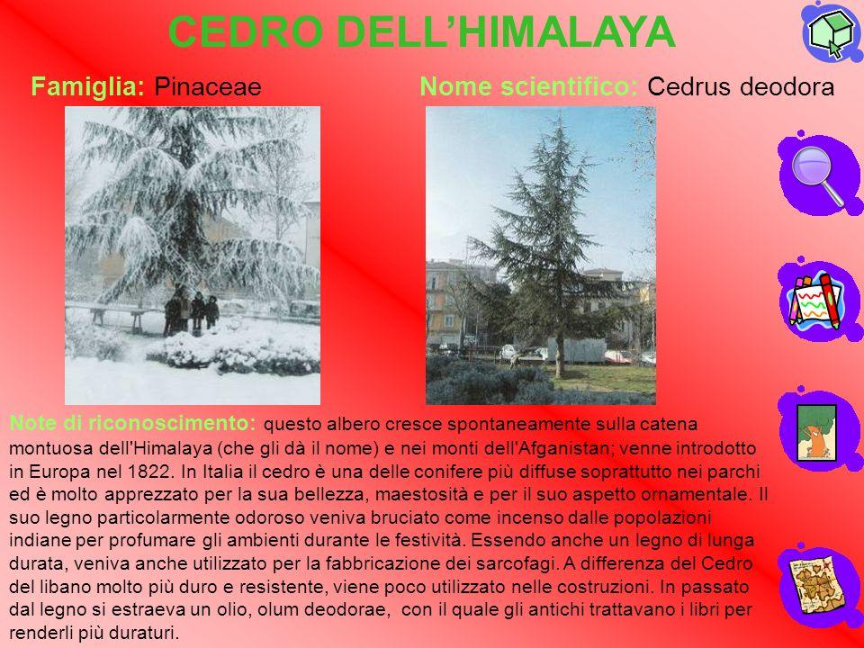 CEDRO DELL'HIMALAYA Famiglia: Pinaceae