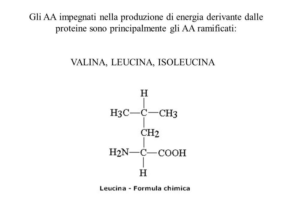Gli AA impegnati nella produzione di energia derivante dalle proteine sono principalmente gli AA ramificati: