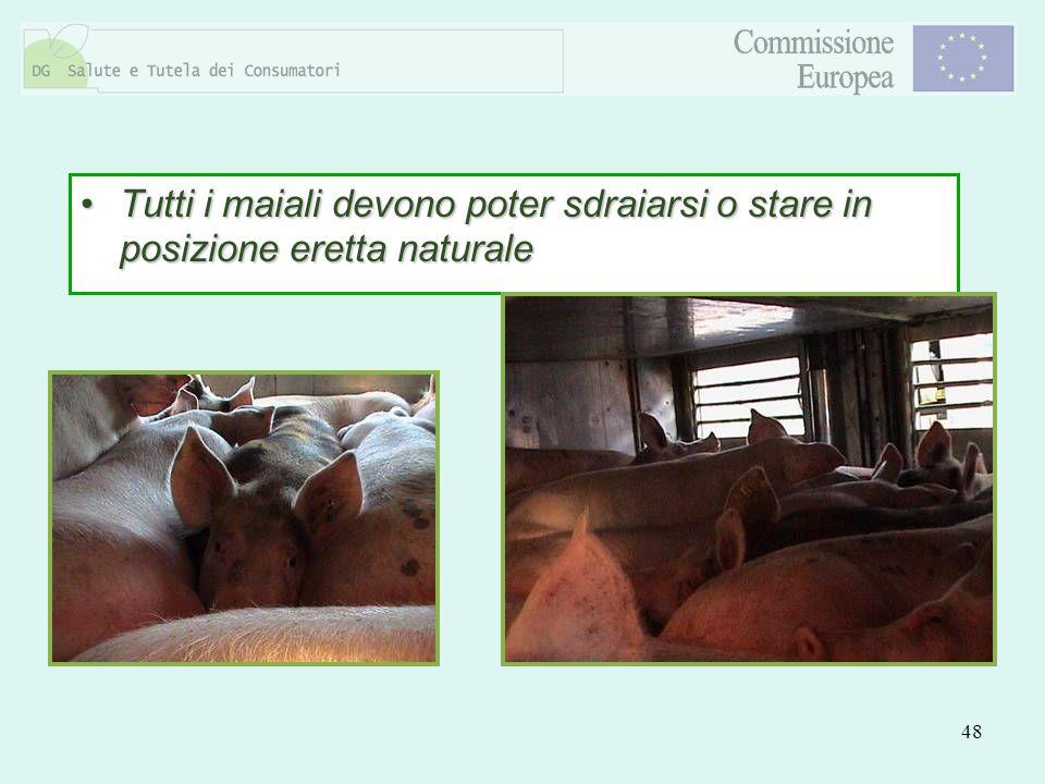 Tutti i maiali devono poter sdraiarsi o stare in posizione eretta naturale