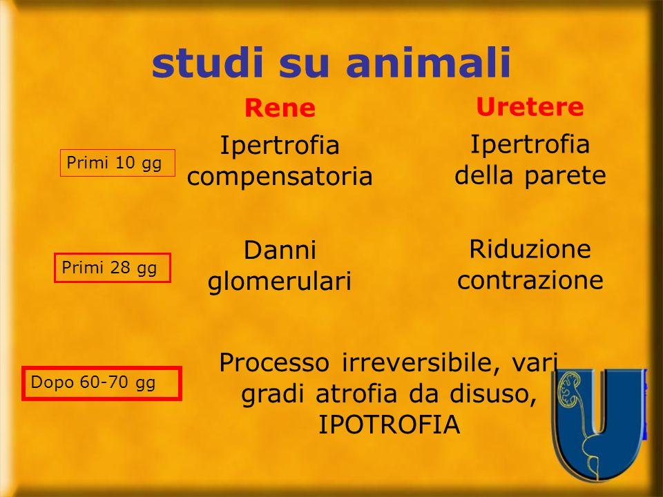 studi su animali Rene Uretere Ipertrofia compensatoria
