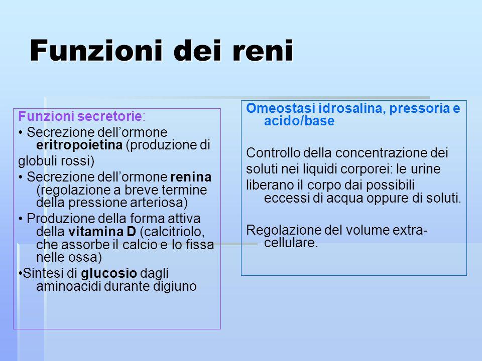 Funzioni dei reni Omeostasi idrosalina, pressoria e acido/base