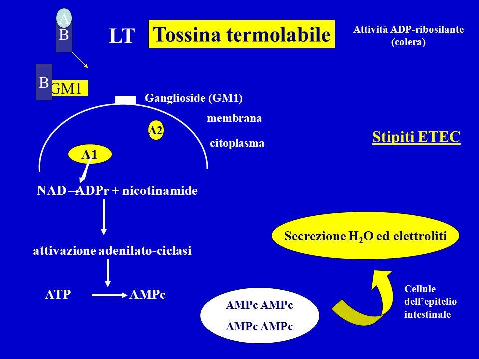 Attività ADP-ribosilante (colera) Secrezione H2O ed elettroliti