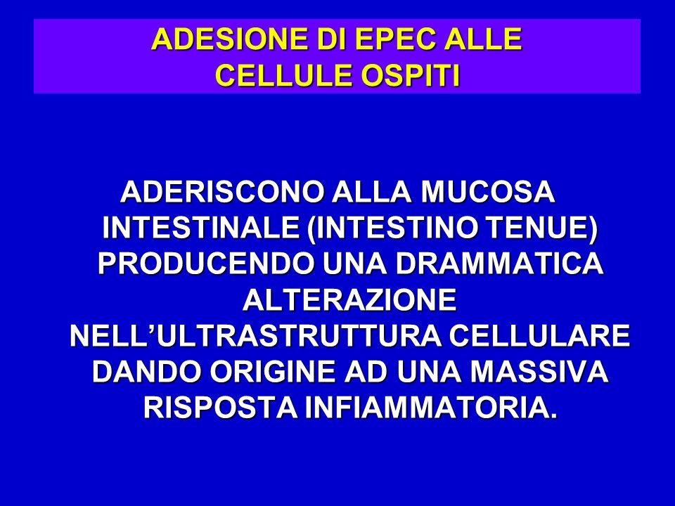 ADESIONE DI EPEC ALLE CELLULE OSPITI