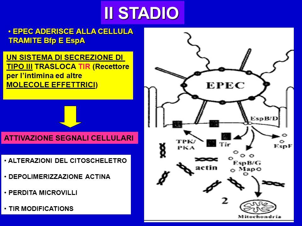 II STADIO EPEC ADERISCE ALLA CELLULA TRAMITE Bfp E EspA