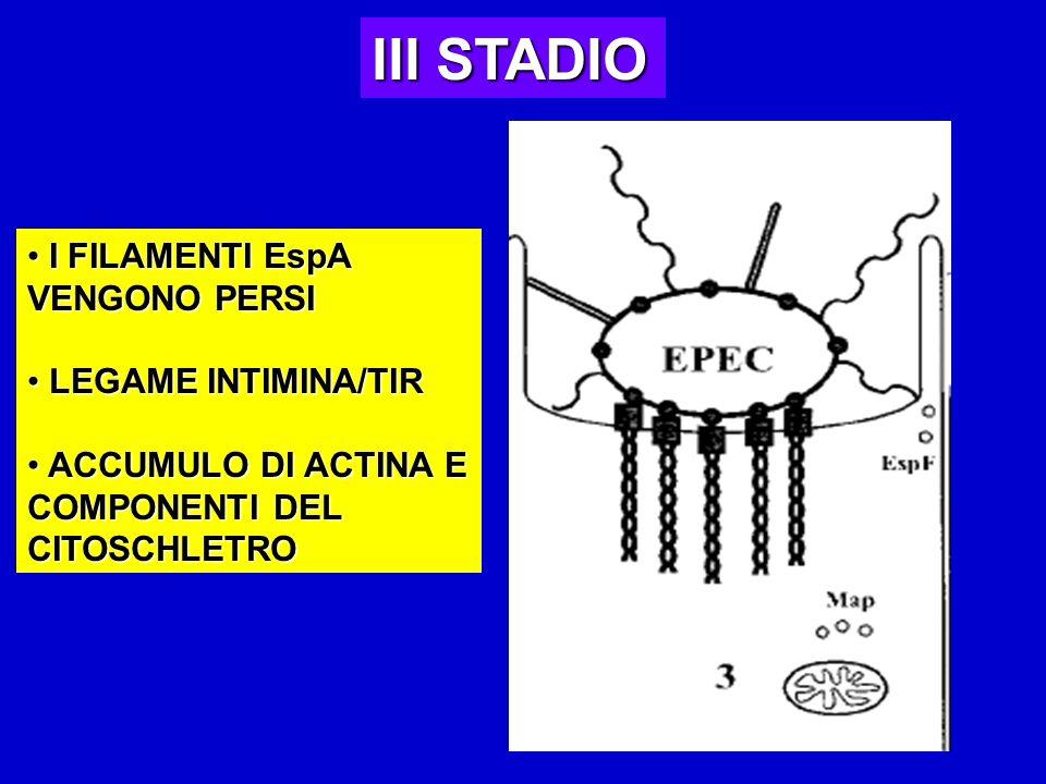 III STADIO I FILAMENTI EspA VENGONO PERSI LEGAME INTIMINA/TIR