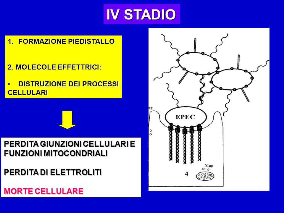 IV STADIO PERDITA GIUNZIONI CELLULARI E FUNZIONI MITOCONDRIALI
