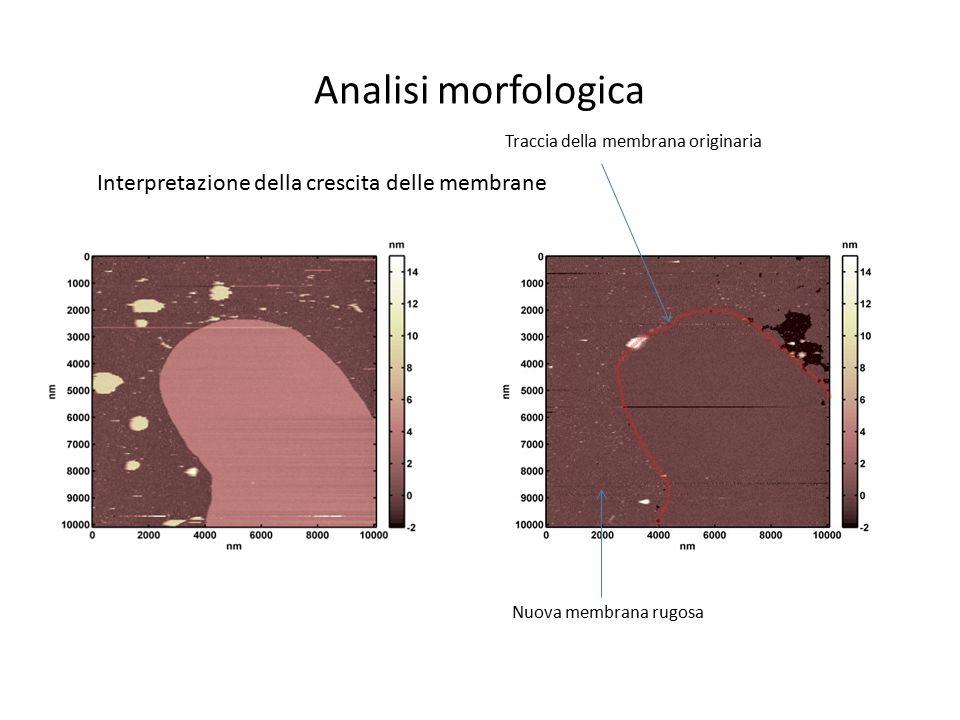 Analisi morfologica Interpretazione della crescita delle membrane
