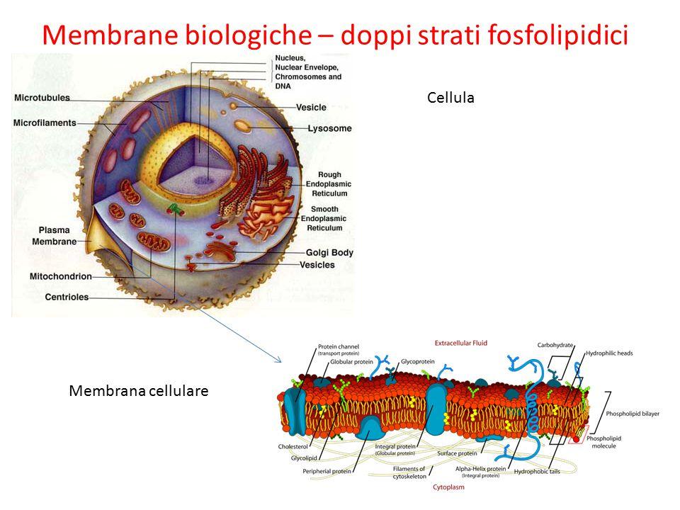 Membrane biologiche – doppi strati fosfolipidici