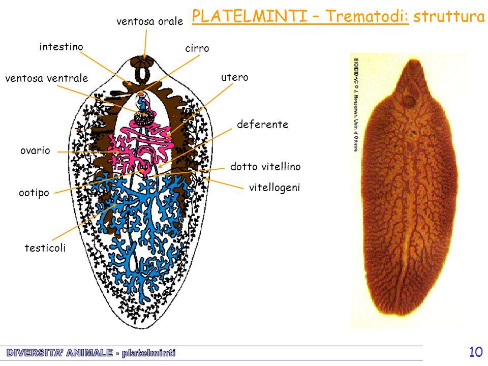 PLATELMINTI – Trematodi: struttura