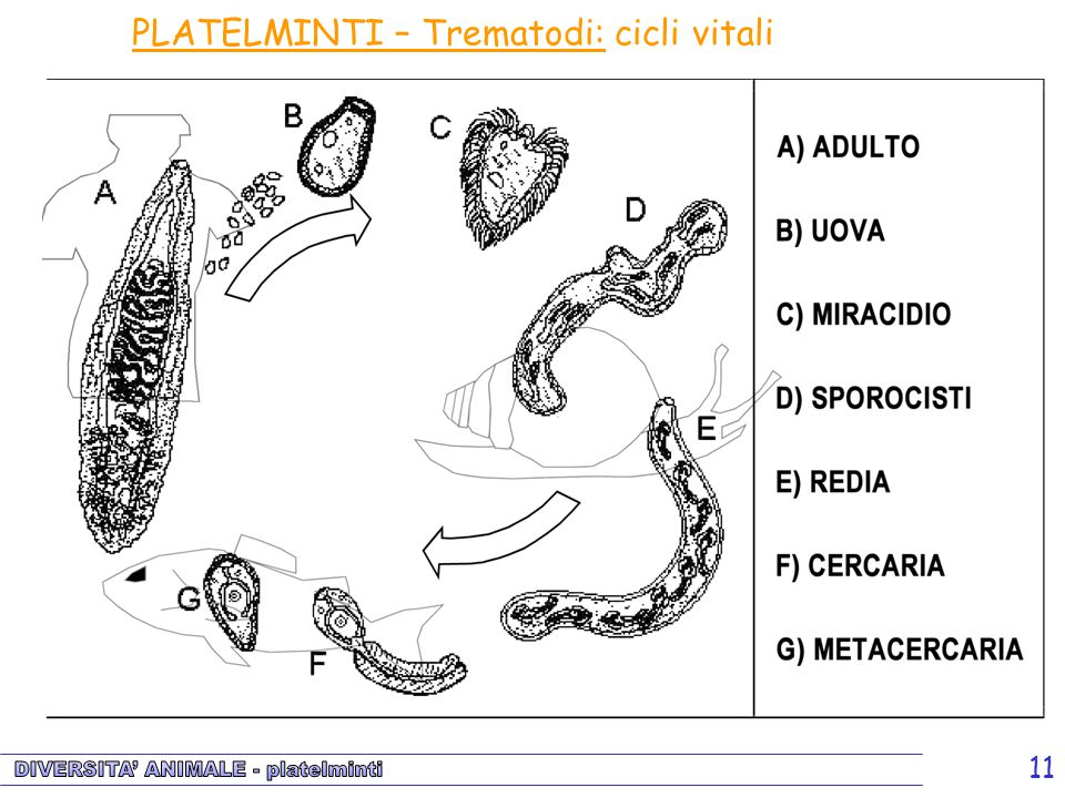 PLATELMINTI – Trematodi: cicli vitali
