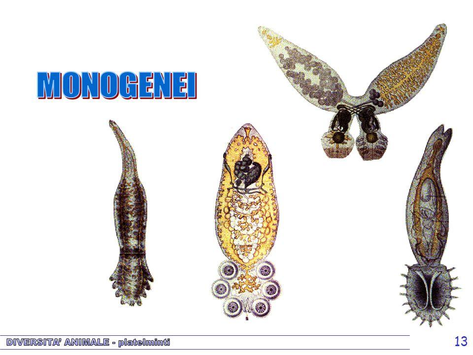 Monogenei MONOGENEI.