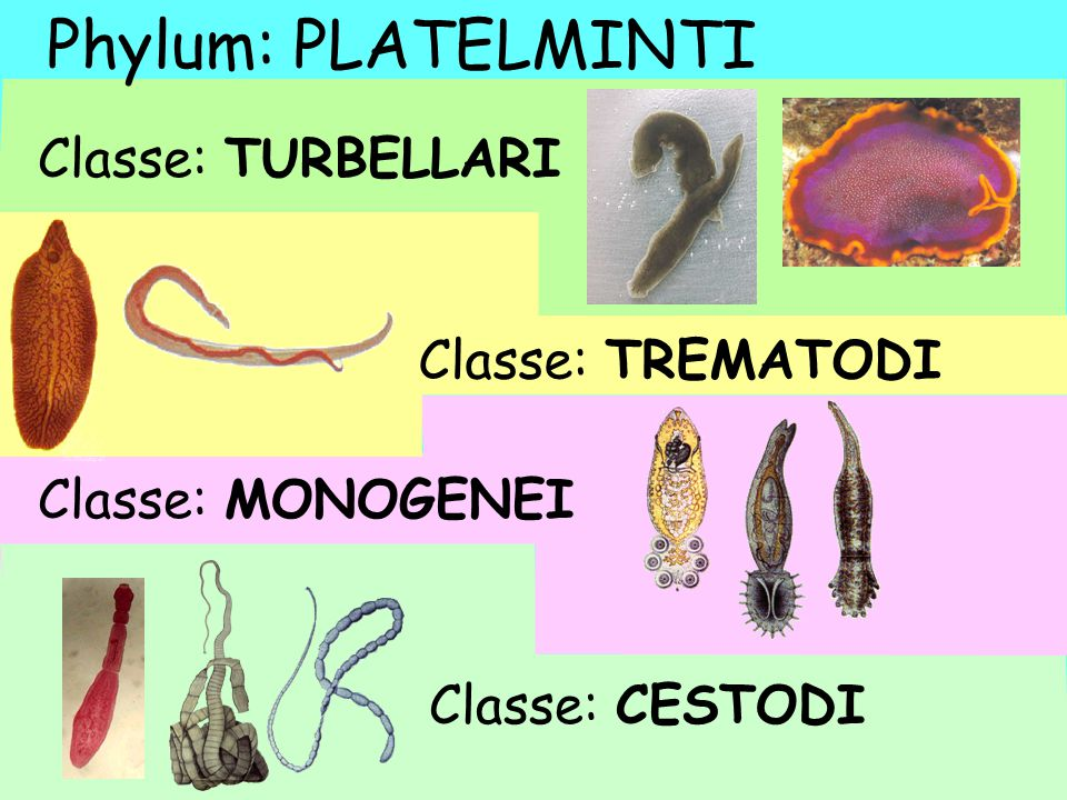Phylum: PLATELMINTI classificazione Classe: TURBELLARI