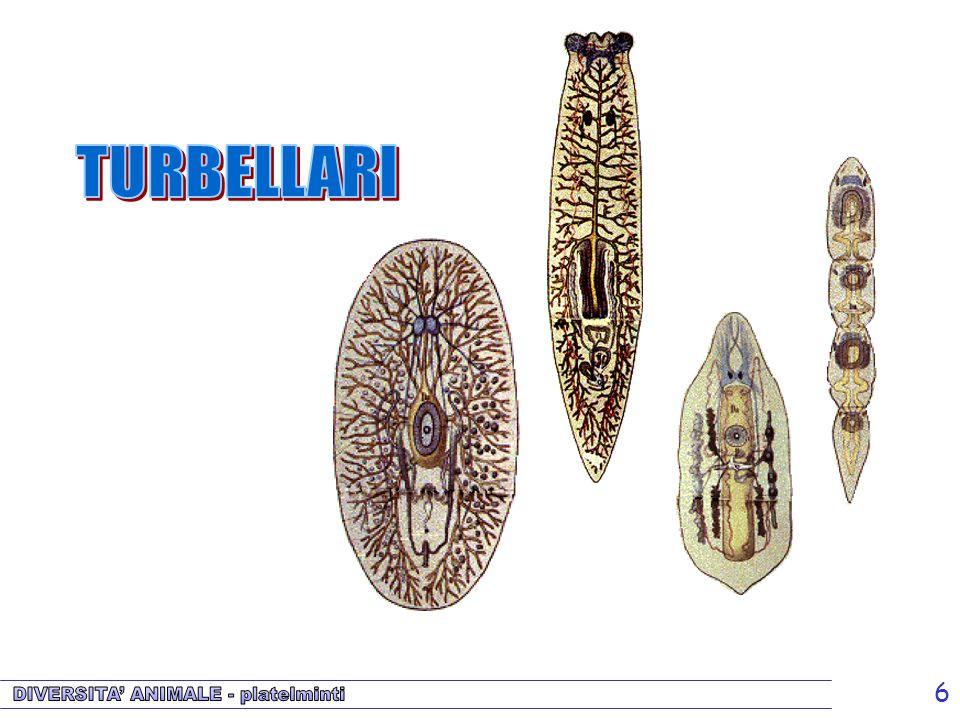 Turbellari TURBELLARI.