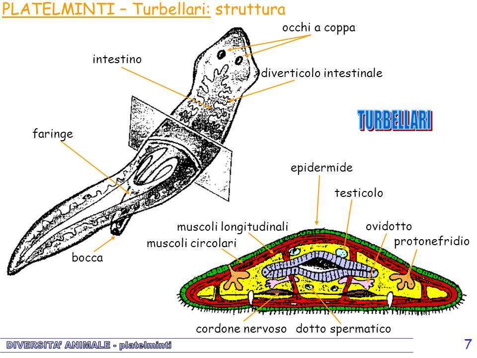 PLATELMINTI – Turbellari: struttura