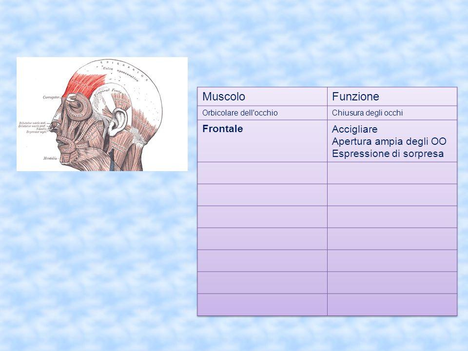 Muscolo Funzione Frontale Accigliare Apertura ampia degli OO