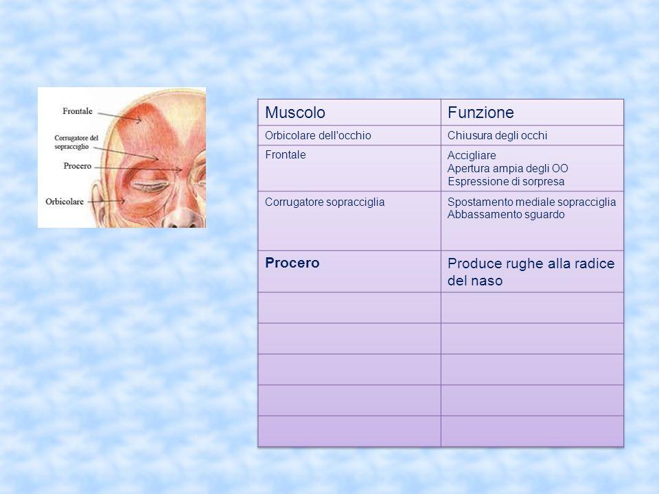 Muscolo Funzione Procero Produce rughe alla radice del naso