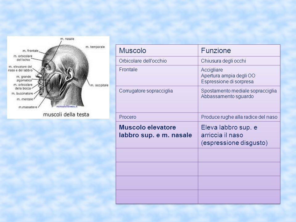 Muscolo Funzione Muscolo elevatore labbro sup. e m. nasale