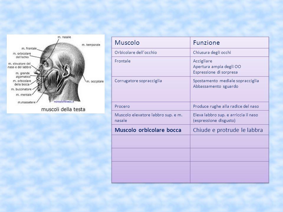 Muscolo Funzione Muscolo orbicolare bocca Chiude e protrude le labbra