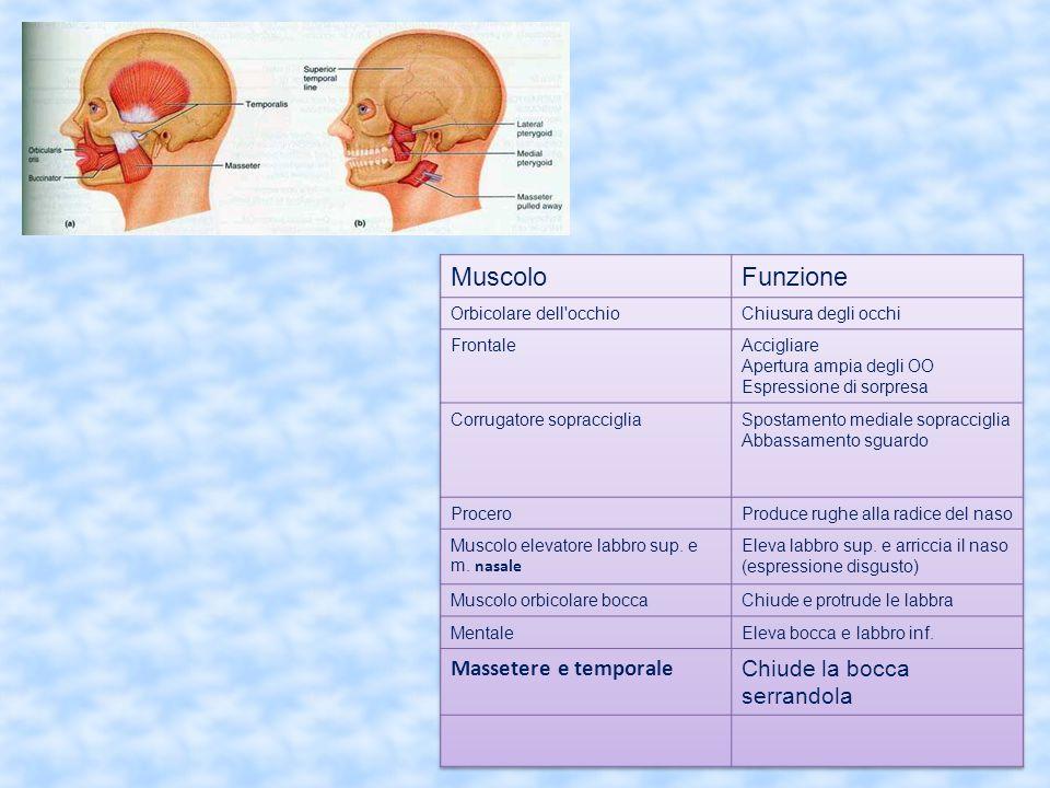 Muscolo Funzione Massetere e temporale Chiude la bocca serrandola