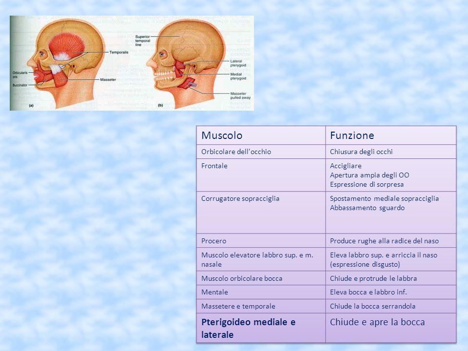 Muscolo Funzione Pterigoideo mediale e laterale Chiude e apre la bocca