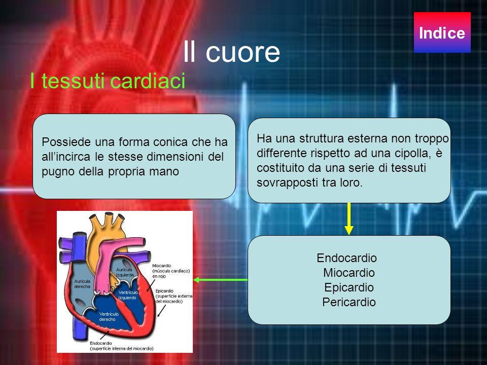 Il cuore I tessuti cardiaci Indice Possiede una forma conica che ha