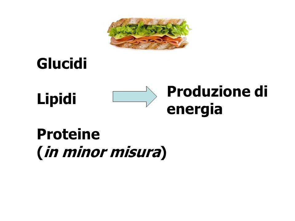 Glucidi Lipidi Proteine (in minor misura) Produzione di energia