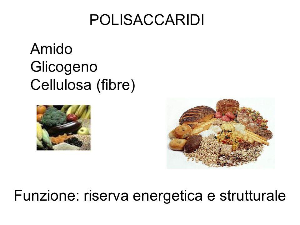 POLISACCARIDI Amido Glicogeno Cellulosa (fibre) Funzione: riserva energetica e strutturale