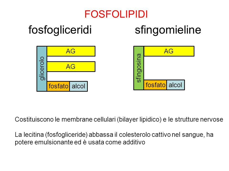 fosfogliceridi sfingomieline FOSFOLIPIDI AG AG AG glicerolo sfingosina