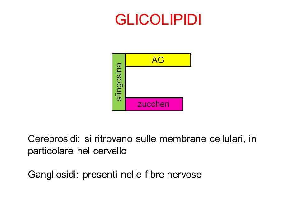 GLICOLIPIDI AG. sfingosina. zuccheri. Cerebrosidi: si ritrovano sulle membrane cellulari, in particolare nel cervello.