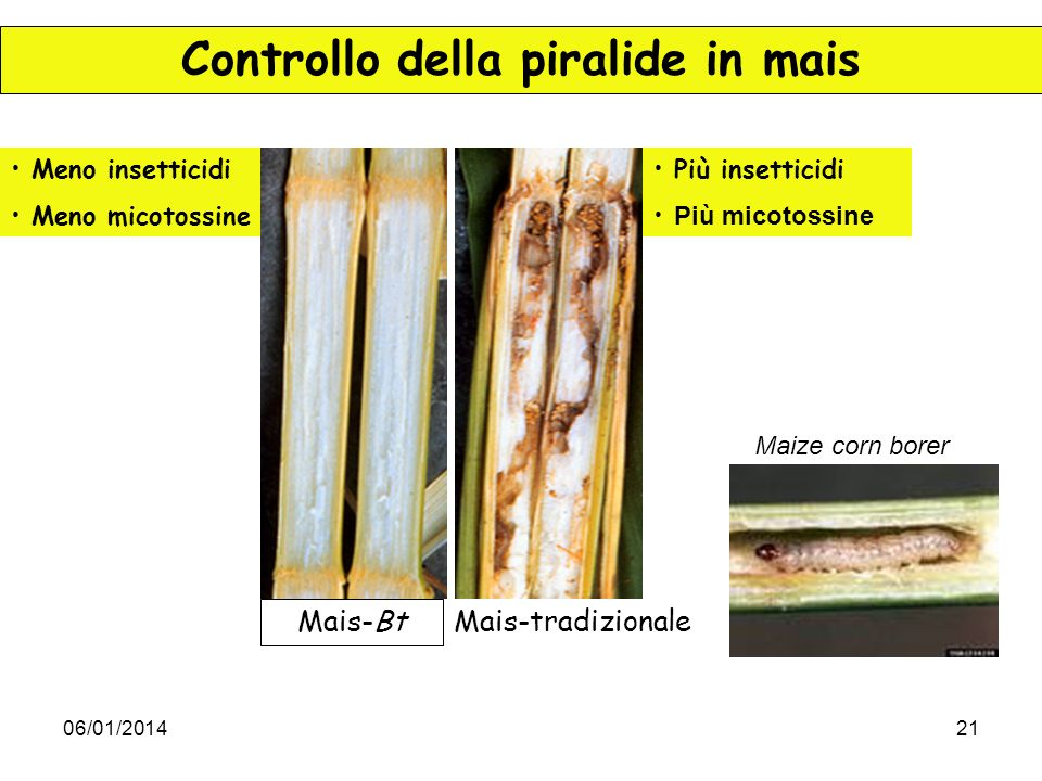 Controllo della piralide in mais