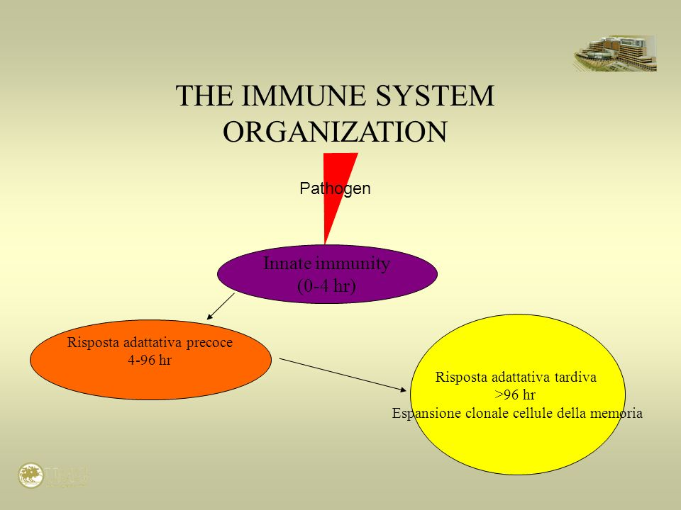 THE IMMUNE SYSTEM ORGANIZATION