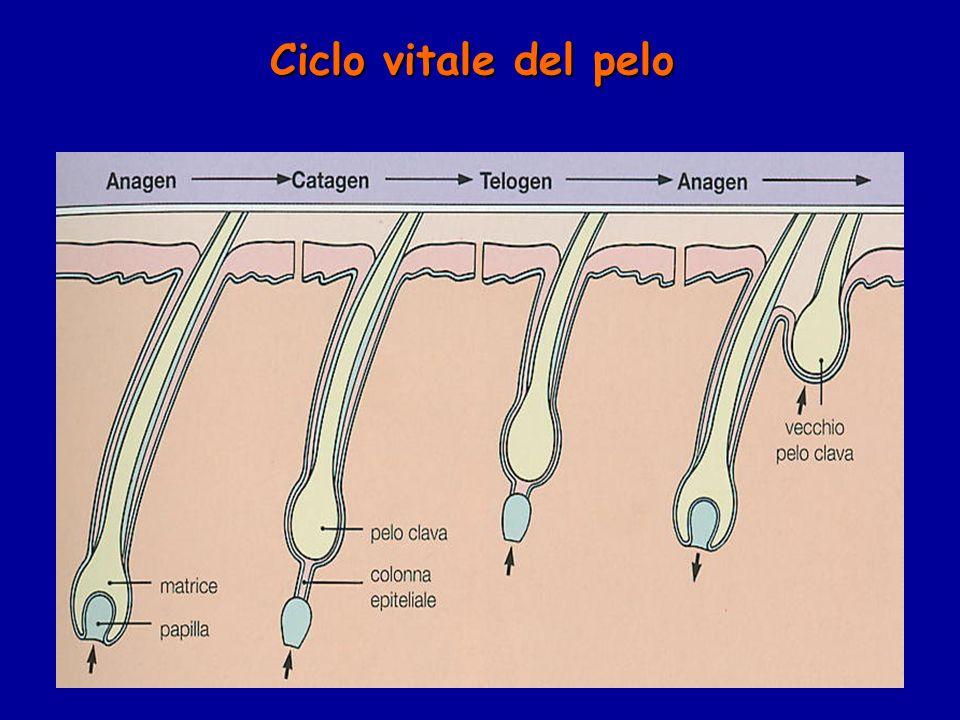 Ciclo vitale del pelo