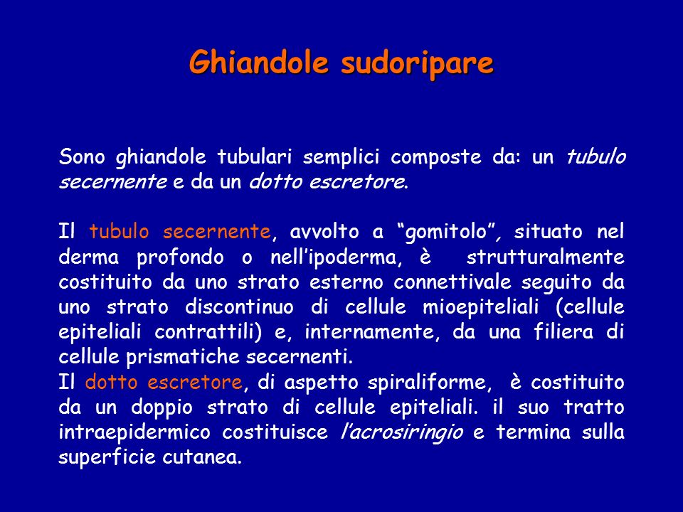 Ghiandole sudoripare Sono ghiandole tubulari semplici composte da: un tubulo secernente e da un dotto escretore.