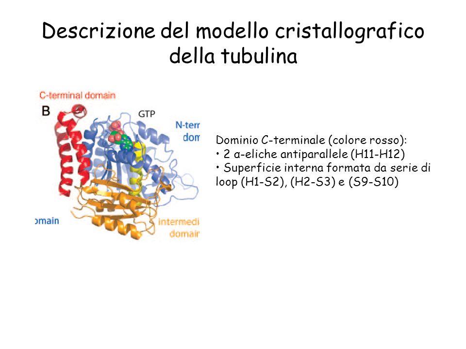 Descrizione del modello cristallografico della tubulina