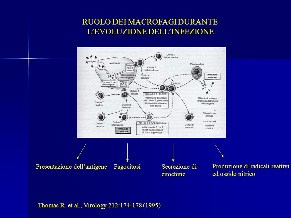 RUOLO DEI MACROFAGI DURANTE L'EVOLUZIONE DELL'INFEZIONE
