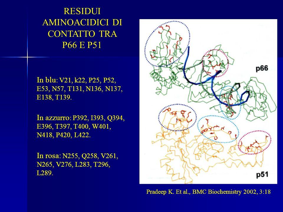 RESIDUI AMINOACIDICI DI CONTATTO TRA P66 E P51