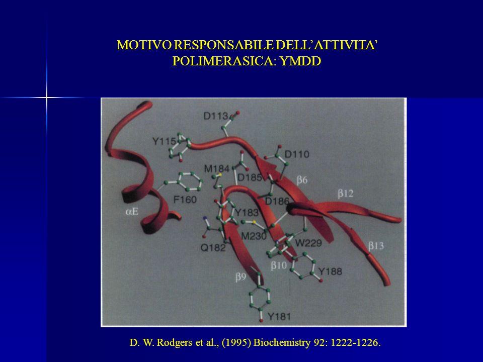 MOTIVO RESPONSABILE DELL'ATTIVITA' POLIMERASICA: YMDD
