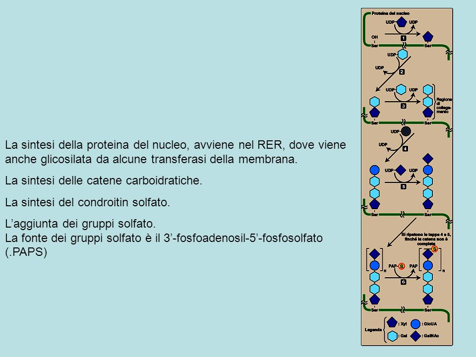 La sintesi della proteina del nucleo, avviene nel RER, dove viene anche glicosilata da alcune transferasi della membrana.