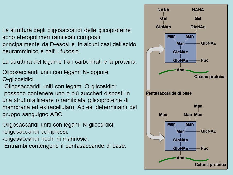 La struttura degli oligosaccaridi delle glicoproteine: sono eteropolimeri ramificati composti principalmente da D-esosi e, in alcuni casi,dall'acido neuramminico e dall'L-fucosio.