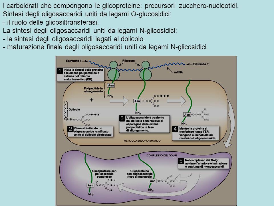 I carboidrati che compongono le glicoproteine: precursori zucchero-nucleotidi.