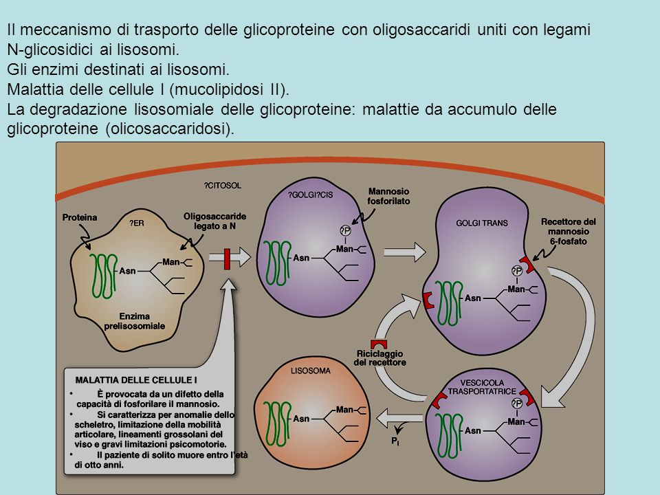 Il meccanismo di trasporto delle glicoproteine con oligosaccaridi uniti con legami N-glicosidici ai lisosomi.